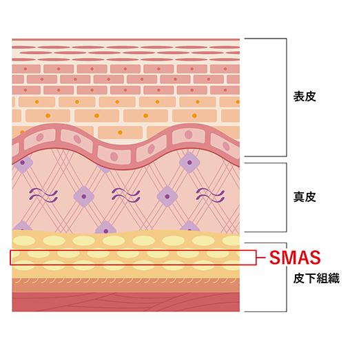 角質層 顆粒層 有棘層 基底層 基底膜 表皮 基底細胞 コラーゲン エラスチン 繊維芽細胞 基質 真皮 皮下脂肪 SMAS 皮下脂肪 筋膜 筋肉 皮下組織