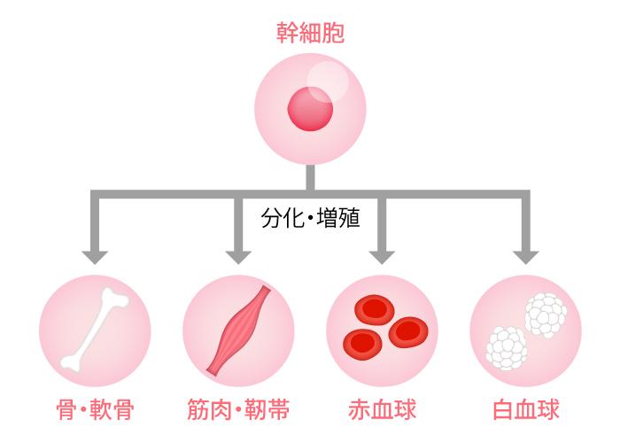 幹細胞組織図